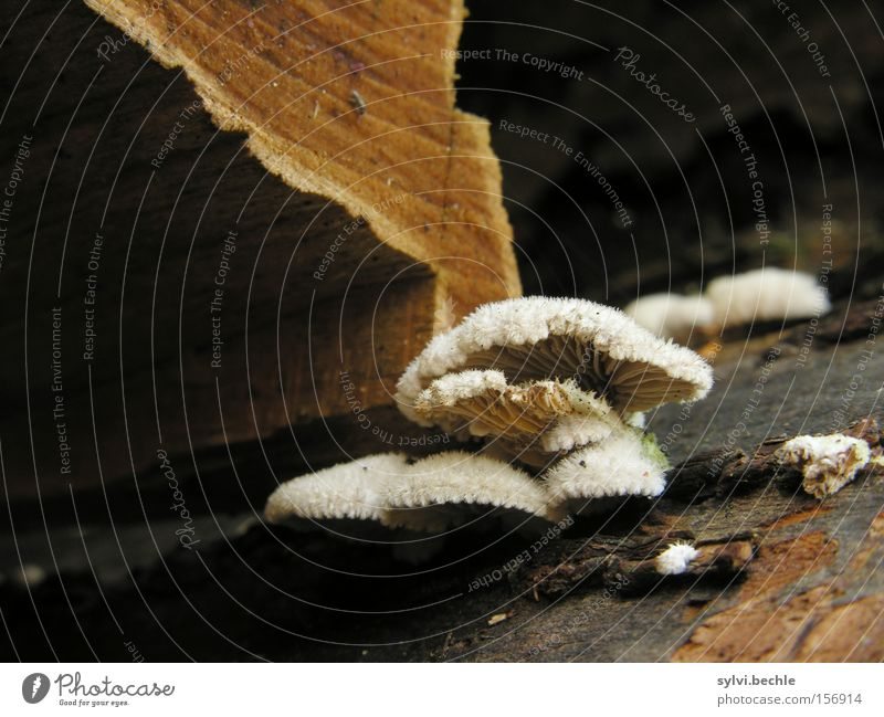 noch´n pils(z)? - II Herbst Baum Holz braun weiß Gift Pilz Baumstamm Lamelle Fell Baumrinde Brennholz feucht Farbfoto Außenaufnahme Nahaufnahme Detailaufnahme