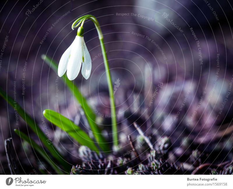 Better days will come Umwelt Pflanze Frühling Blüte Schneeglöckchen Galanthus Garten schön grün violett weiß 2016 März Springtime Farbfoto Außenaufnahme
