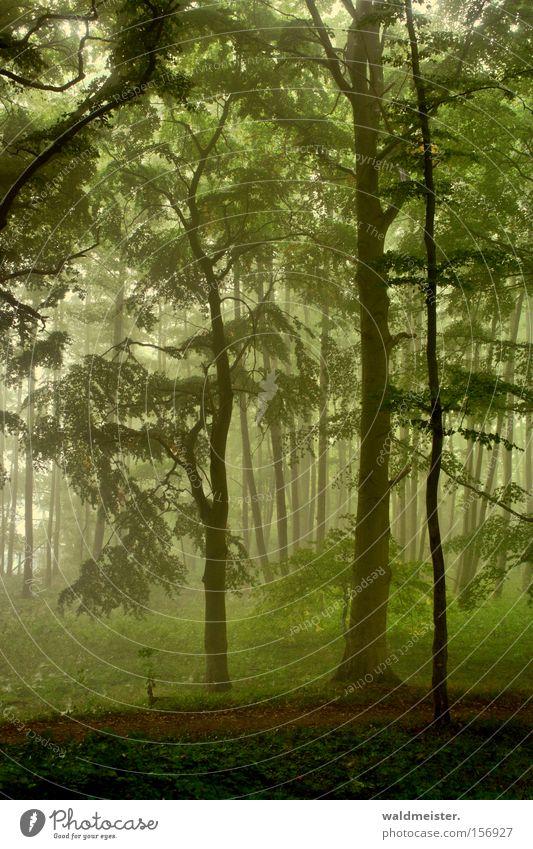skog Wald Nebel Baum Blatt mystisch ruhig Erholung Holz Urwald Märchen Zauberei u. Magie grün Romantik bezaubernd