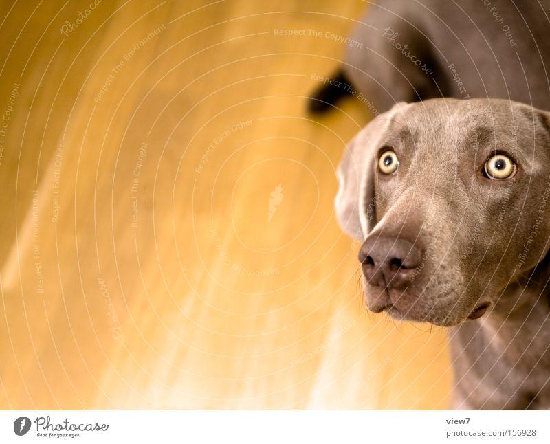 Verfolger Auge Hund Konzentration Wachsamkeit Haustier Säugetier Schnauze Anschnitt Bildausschnitt achtsam Tier Jagdhund betteln Weimaraner Haushund