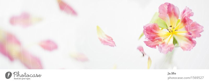 Vergänglichkeit Pflanze Frühling Blume Tulpe Blüte Garten Blühend Duft fallen verblüht Freundlichkeit frisch hell schön Erotik gelb grün rosa weiß