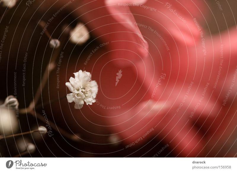 Traum von rosa weiß Blume Pflanze Stimmung Lilien Gladiolen