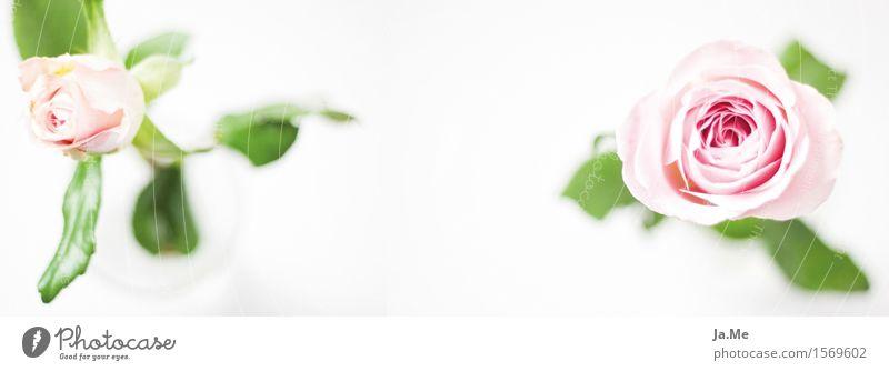 PanoramaRose Natur Pflanze grün schön weiß Blume Blatt Blüte feminin rosa ästhetisch Fröhlichkeit Blühend verblüht dankbar