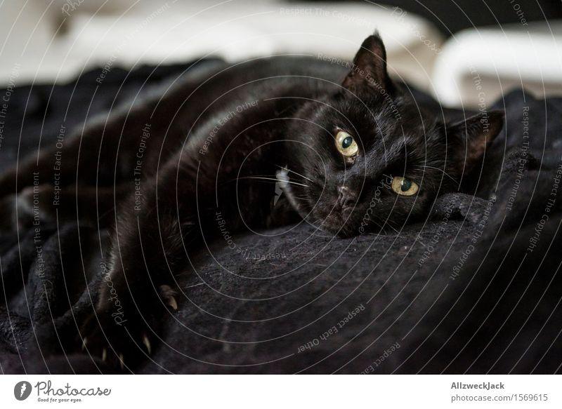 Loundry Softness Inspector Haustier Katze 1 Tier schwarz Geborgenheit Trägheit Frieden Mittagsschlaf Hauskatze ausruhend Farbfoto Innenaufnahme Nahaufnahme