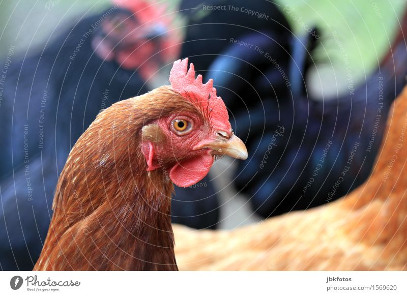 Ich wollt ich wär ein... Natur schön Tier Umwelt Vogel Flügel einzigartig Haustier Tiergesicht Haushuhn Nutztier