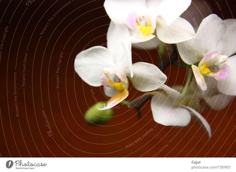 Ins Licht gesetzt Orchidee weiß Wurzel Luft Blütenknospen Stengel Wand Farbe Grüner Daumen grün Ochrideen Phalaenopsis Rispe