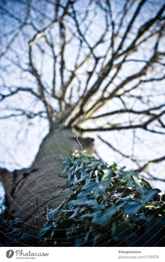 Baumkrone mit Efeu Wald Ast Baumstamm Baumrinde