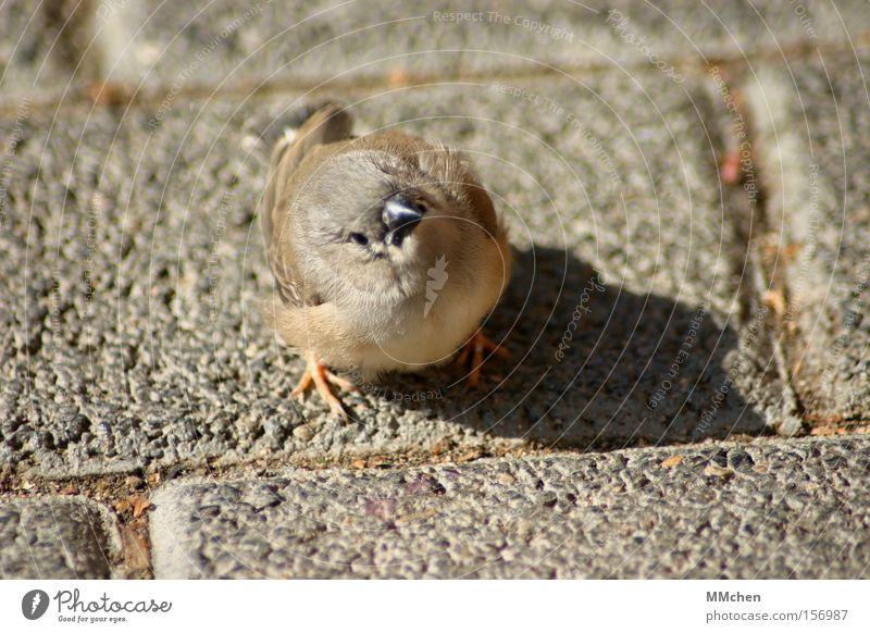 Wo geht`s denn hier nach Afrika? Vogel Kopfsteinpflaster Pflastersteine Orientierung Spatz Schnabel Tier Federvieh Wegbeschreibung piep piepsen