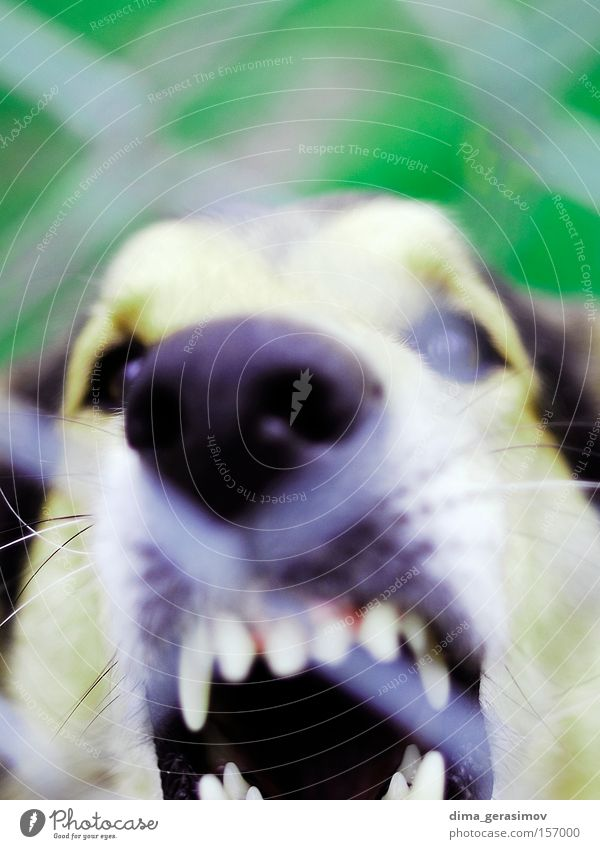 Hund Straße Sommer Tallinn Nase Säugetier Farbe Angst Panik Gebiss Auge