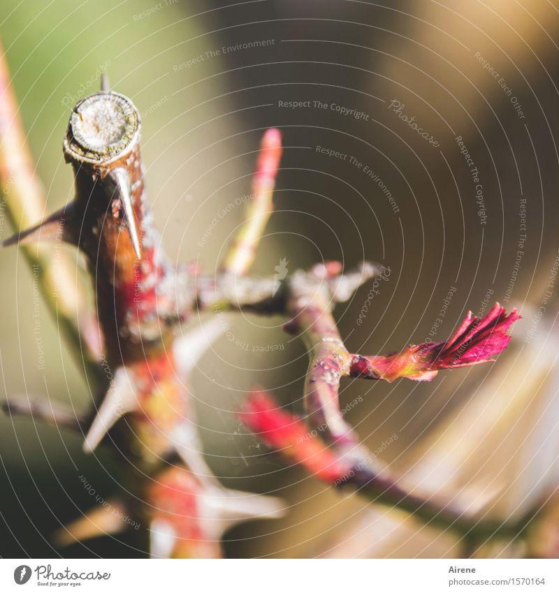 es gibt immer einen Weg Gartenarbeit Pflanze Frühling Schönes Wetter Sträucher Rose Blattknospe Trieb Dorn Umweg Duft Wachstum natürlich Spitze stachelig braun