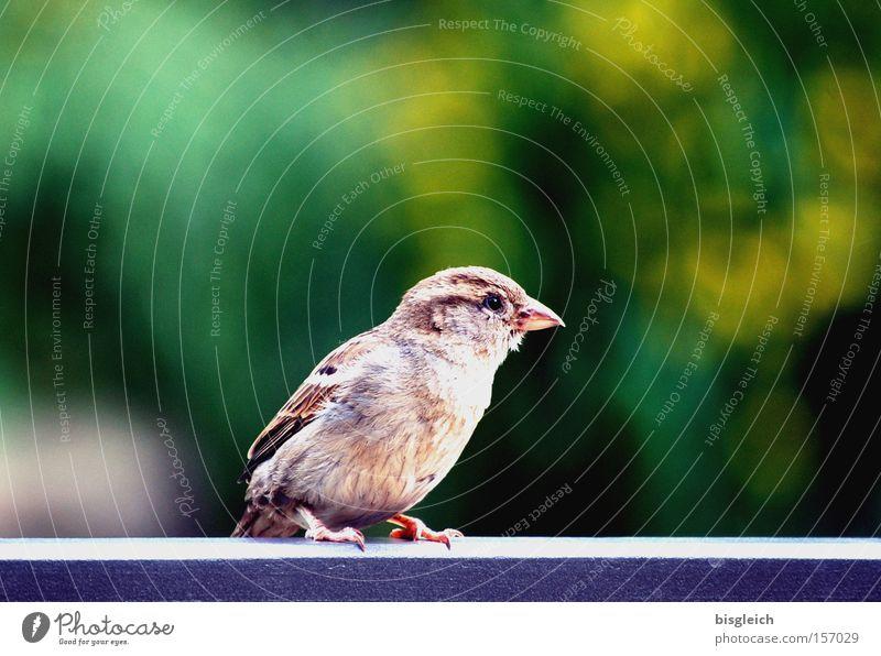 Spatz grün Auge Tier Garten Park Vogel klein Feder Geländer Schnabel Schwäche zerbrechlich Brückengeländer