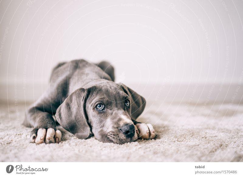 Meister Schlappohr Pt.4 Haustier Hund 1 Tier beobachten liegen Dogge Hängeohr Pfote Schnauze Langeweile Blick Teppich ruhen Treue Farbfoto Innenaufnahme