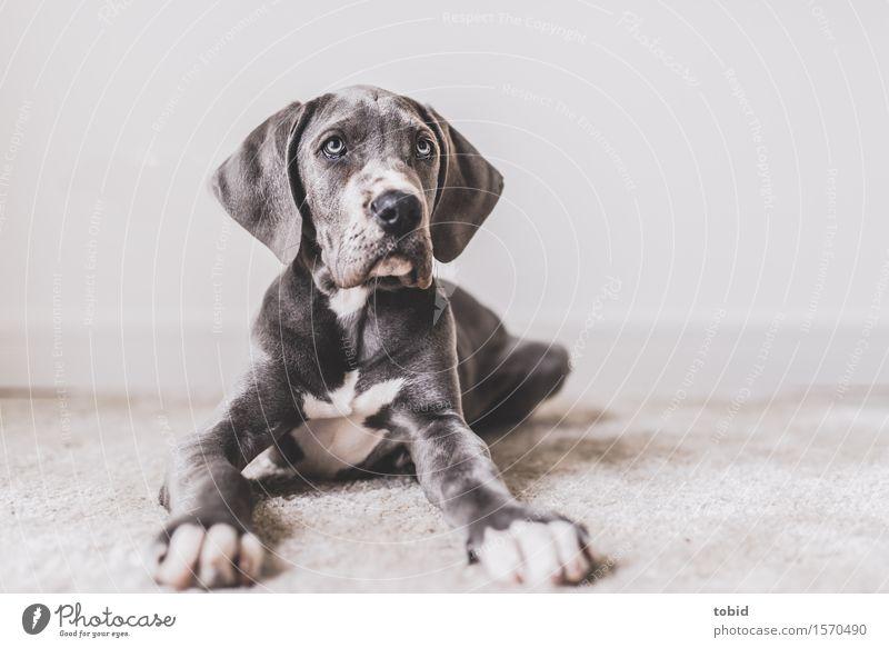 Meister Schlappohr Pt.10 Tier Haustier Hund beobachten liegen kuschlig grau weiß Deutsche Dogge Pfote Schnauze Teppich Hängeohr Farbfoto Innenaufnahme