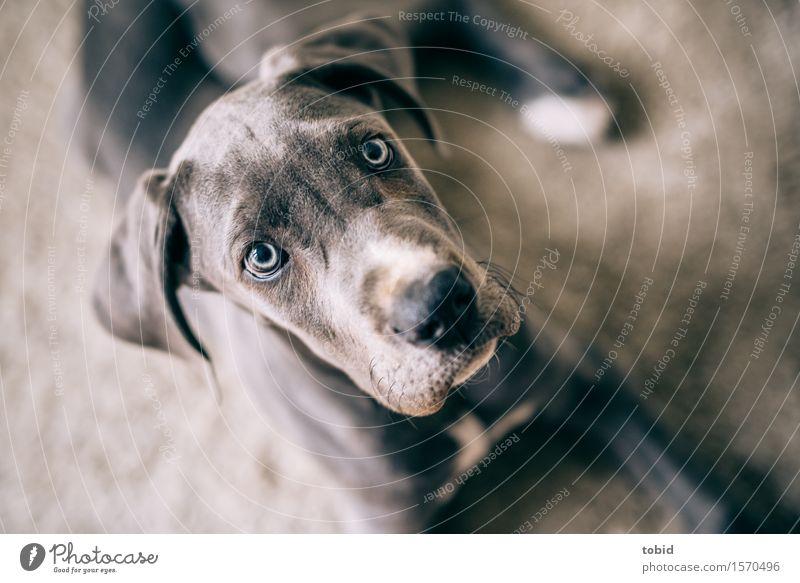 Meister Schlappohr Pt.11 Tier Haustier Hund Tiergesicht beobachten liegen kuschlig grau Deutsche Dogge Schnauze Teppich Hängeohr Ohr Farbfoto Innenaufnahme