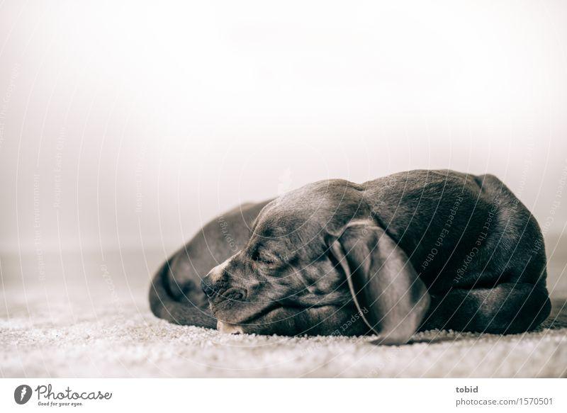 Meister Schlappohr Haustier Hund 1 Tier schlafen ruhen Dogge Tierjunges friedlich Teppich Farbfoto Innenaufnahme Nahaufnahme Schwache Tiefenschärfe Tierporträt