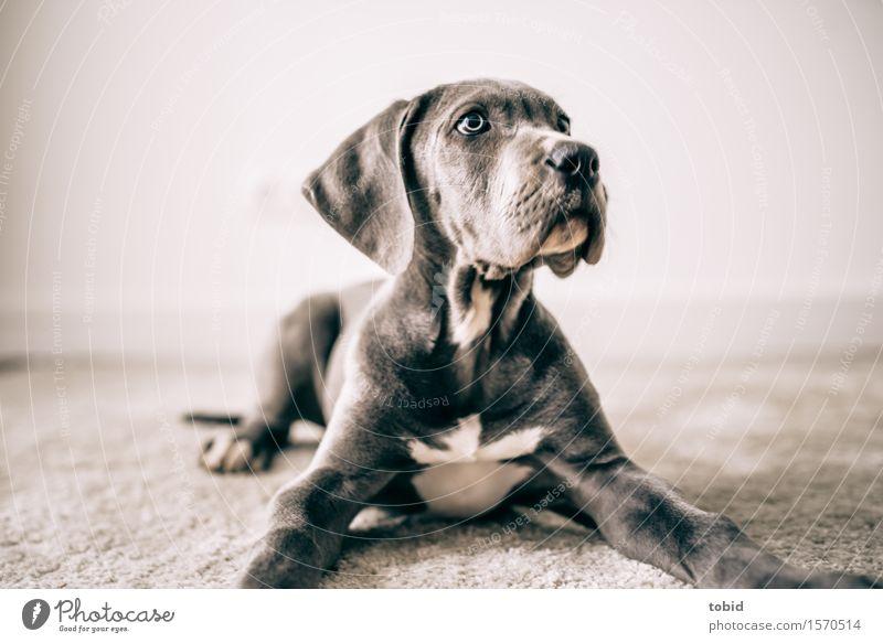 Meister Schlappohr Pt.12 Tier Haustier Hund Tiergesicht beobachten liegen kuschlig achtsam Wachsamkeit Teppich Deutsche Dogge Schnauze Ohr Hängeohr Nervosität