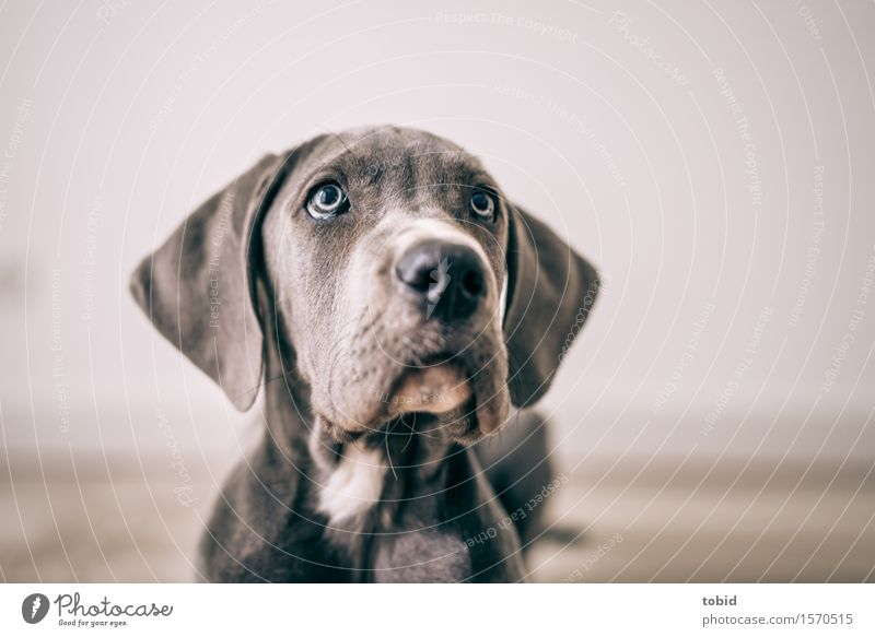 Meister Schlappohr Pt. 7 Hund blau Auge grau sitzen beobachten weich Freundlichkeit nah Fell Haustier Tiergesicht Erwartung kuschlig Schnauze Hängeohr
