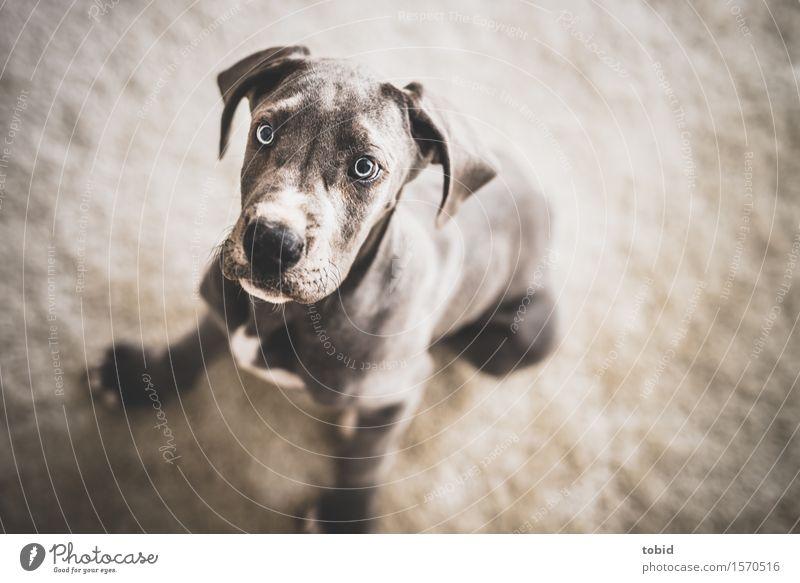 Meister Schlappohr Pt.3 Haustier Hund 1 Tier beobachten sitzen Dogge Tierjunges Fell Hängeohr Treue Kopf Schnauze Nervosität Farbfoto Innenaufnahme Nahaufnahme