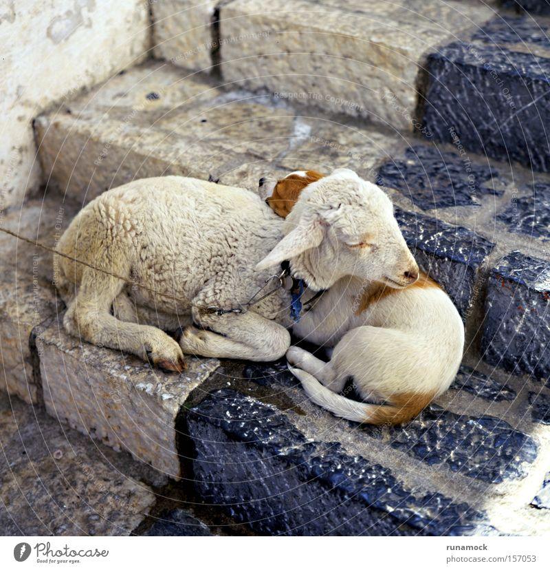 Wahre Liebe Tier weich Schaf Lamm Wolle bezwingbar unschuldig Zusammensein Säugetier Frieden wenig niedlich Schritt Kindheit reizvoll