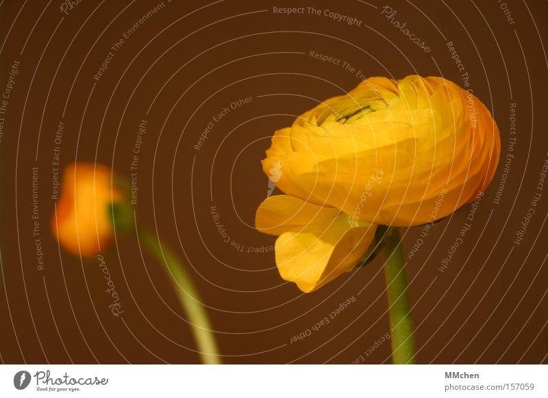 aufgeblüht Ranunkel gelb Blüte Stengel Pflanze Blumenstrauß Blütenblatt Single Einsamkeit einfach Blütenknospen zart grün offen Kreis rund sprießen gedeihen