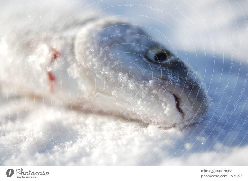 Toter Fisch Winter Tod Schnee Eis Auge blau weiß Mund Meer Estland Tallinn Farbe kalt