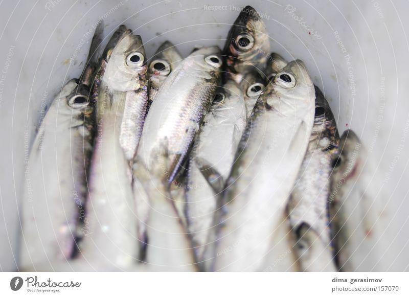 Toter Fisch Winter Tod Schnee Eis Auge blau weiß Mund Meer Estland Tallinn Wasser kalt