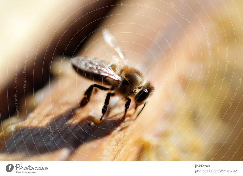 Honigbiene Lebensmittel Ernährung Freude Glück schön Freizeit & Hobby Umwelt Natur Klima Schönes Wetter Tier Nutztier Biene 1 Schwarm Aggression ästhetisch
