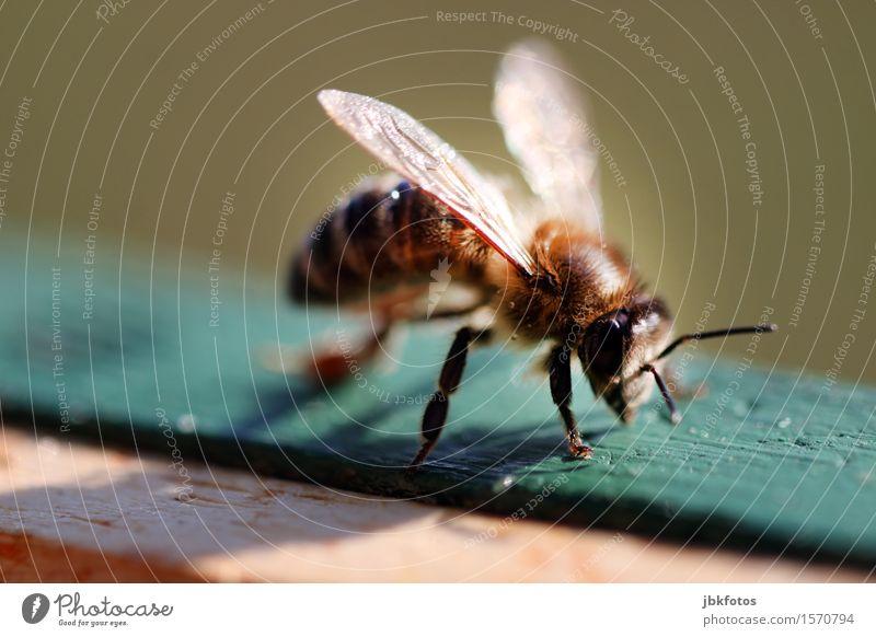 Imkerfreude Natur Tier Freude Gefühle Frühling Garten Lebensmittel Ernährung Flügel Bioprodukte Leidenschaft Mut Biene Haustier selbstbewußt Frühlingsgefühle