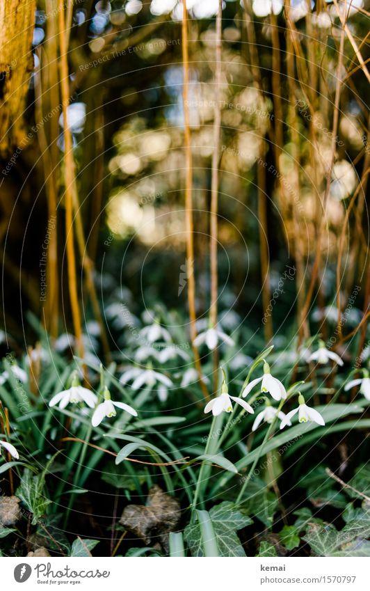 Snowdrops II Umwelt Natur Pflanze Sonnenlicht Frühling Schönes Wetter Sträucher Blatt Blüte Grünpflanze Schneeglöckchen Efeu Blühend Wachstum Freundlichkeit