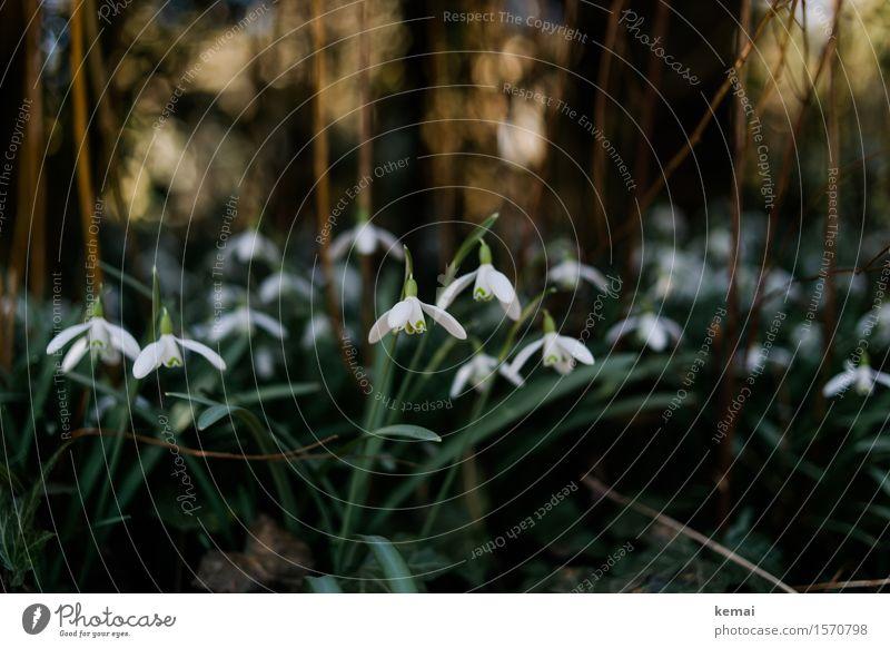 Snowdrops Umwelt Natur Pflanze Sonnenlicht Frühling Schönes Wetter Blatt Blüte Wildpflanze Schneeglöckchen Wiese Blühend Wachstum Freundlichkeit frisch schön