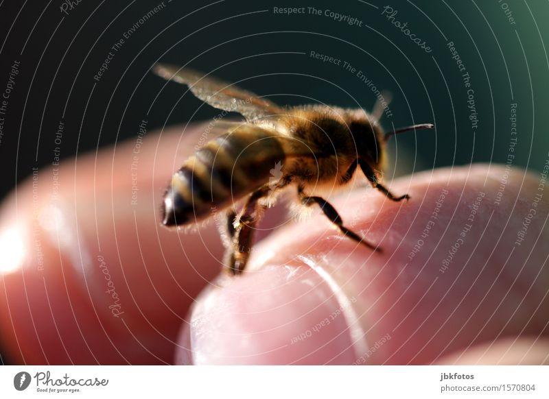 handzahme Biene Natur schön Hand Erotik Tier Umwelt Lebensmittel fliegen Ernährung Flügel Finger einzigartig Schönes Wetter Insekt Haustier