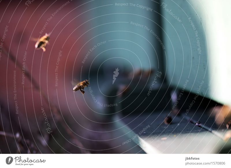 Achtung, ich komme! Lebensmittel Ernährung Umwelt Natur Biene 2 Tier Schwarm ästhetisch außergewöhnlich bedrohlich fantastisch frech Fröhlichkeit schön