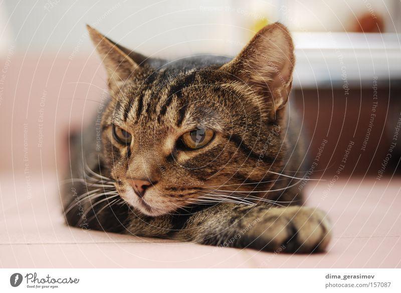 Tier Auge Farbe Farbstoff Katze Nase Ohr Bad Säugetier Schlafzimmer Gehörsinn