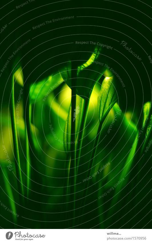 letztens im dschungelcamp... Aquarienpflanze Echinodorus Schwertpflanzen Amazonasschwertpflanze Froschlöffelgewächs Alismataceae Bedecktsamer Wasserpflanze