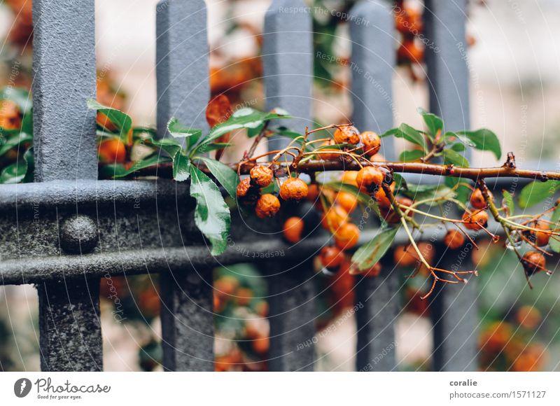 Herbstzeitlose Sträucher Blatt Garten Park nass orange Beeren Beerensträucher Zaun Wachstum durchdringend herbstlich Ernte Erntedankfest Ast Frucht hängend
