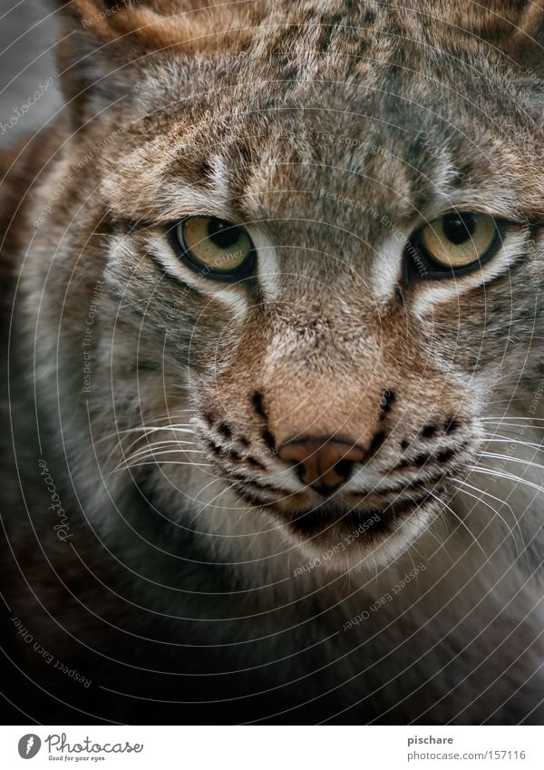 Schlechte Laune? Tier Katze Auge gefährlich Europa Säugetier fixieren hypnotisch Raubkatze Luchs