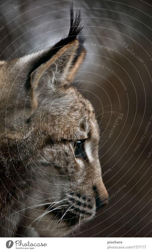 Luxus Luchs Tier Katze hören Konzentration Raubkatze Ohr Säugetier Europa pischare Silhouette