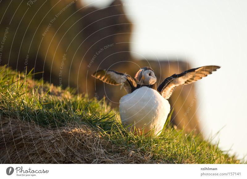 Papageitaucher Gras Island Schnabel Tier Vogel Alken Arktis grün Alkenvogel Lunde charadriiformes fratercula regenpfeiferartig Farbe
