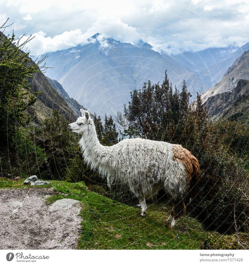 Lama's Lama Ferien & Urlaub & Reisen Tourismus Abenteuer Expedition Camping Berge u. Gebirge Natur Landschaft Machu Pichu Peru Südamerika Tier Alpaka 1 Inka