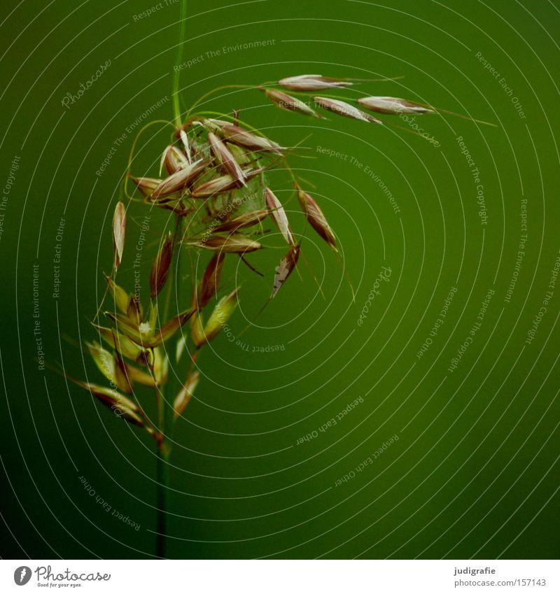 Gras Natur grün schön Pflanze Sommer Farbe Umwelt Wiese Leben Zufriedenheit wild elegant Wachstum ästhetisch zart