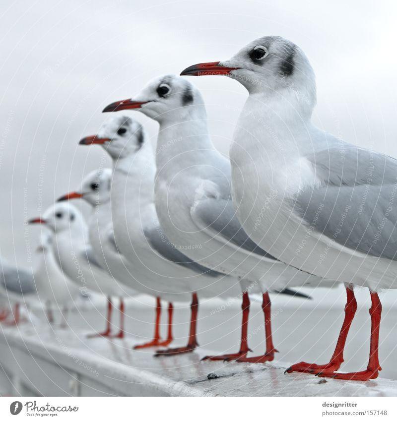 STILLG´STAN´N! Meer Vogel warten Ordnung beobachten Appetit & Hunger Reihe Möwe Erwartung Nordsee Tier Sitzreihe Warteschlange füttern Futter Gier