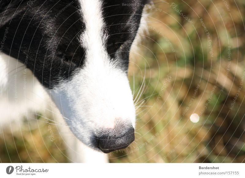 Kopflastig Hund schwarz weiß Schnauze Hundeschnauze Nase Wiese Gras feucht Linie Gemälde Fell grün Herbst Säugetier Border Collie