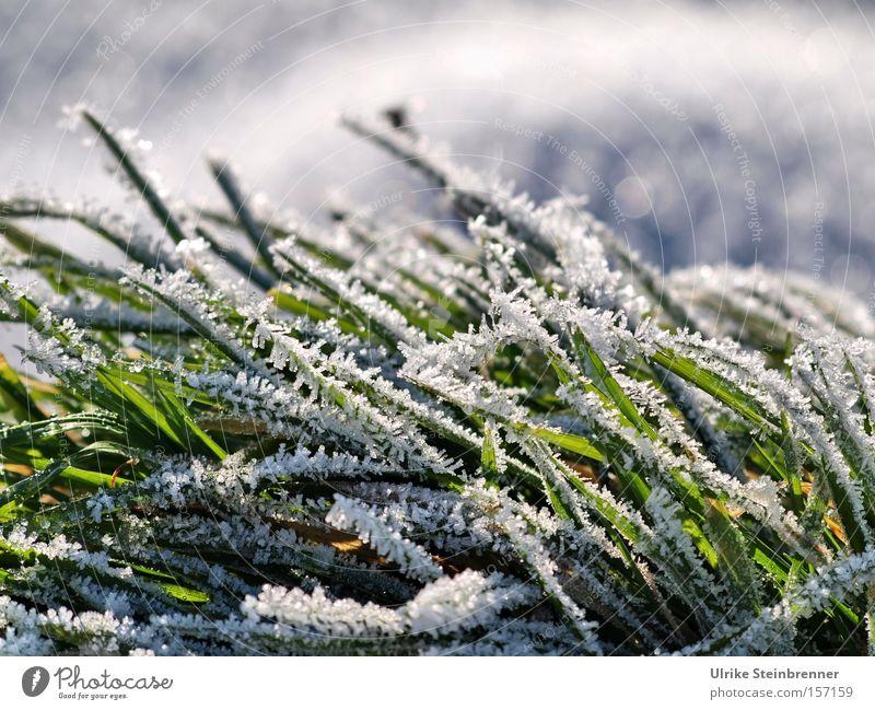 Weißer Raureif auf grünem Gras Farbfoto Außenaufnahme Nahaufnahme Makroaufnahme Tag Sonnenlicht Froschperspektive Winter Schnee Natur Pflanze Schönes Wetter Eis