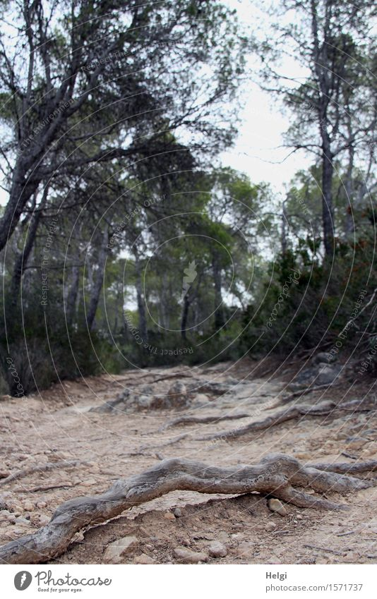 Stolperfalle... Umwelt Natur Landschaft Pflanze Erde Frühling Baum Wildpflanze Baumwurzel Pinie Wald Insel Mallorca Wege & Pfade stehen dehydrieren Wachstum