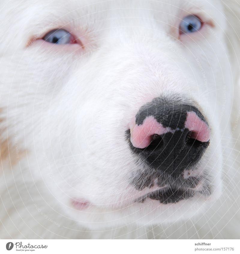Bosporus auf der Nase Hund Schnauze scheckig gefleckt Starrer Blick rosa schwarz Schielen Angst Schüchternheit Fell Säugetier Australian Sheperd blaue Auge