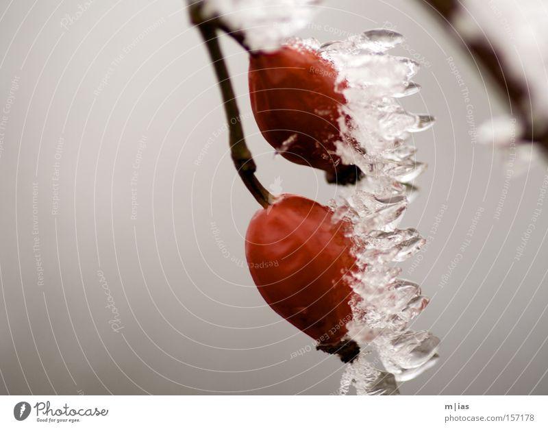 Eisbeeren Eiszapfen Schnee Winter gefroren rot Beeren Frucht Natur Naturphänomene Ferien & Urlaub & Reisen kalt Makroaufnahme Nahaufnahme Hundsrose