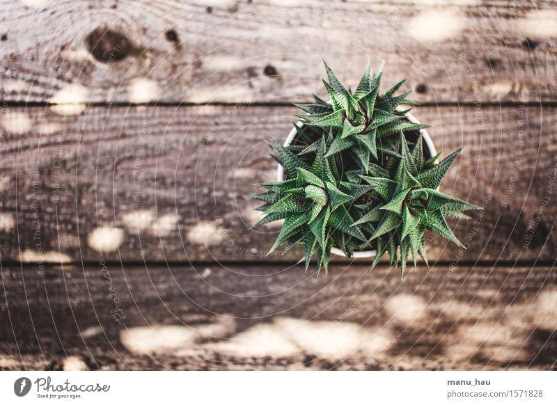"""""""Stecher"""" exotisch Wohnung Garten Dekoration & Verzierung Umwelt Natur Pflanze Frühling Kaktus Grünpflanze Topfpflanze Erotik fest natürlich grün Farbfoto"""