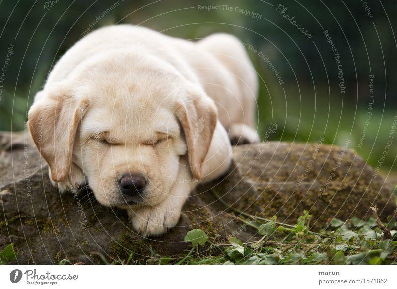 Schlafmütze Hund Tier Tierjunges Gefühle natürlich Gesundheit Glück klein Freundschaft träumen blond Fröhlichkeit Lebensfreude Warmherzigkeit schlafen