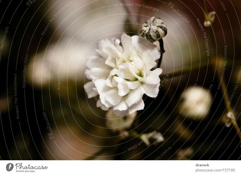weiß schön Pflanze Blume schwarz Blüte braun Ast Warmherzigkeit rein Born