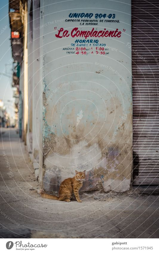 kubanische Katze Havanna Stadt Hauptstadt Stadtzentrum Mauer Wand Fassade Tier Haustier Nutztier Wildtier 1 trashig trist mehrfarbig Kultur Leben Tourismus